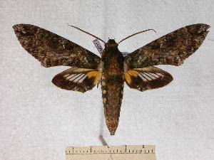 (Cocytius rivularis - BC-EMEM0912)  @14 [ ] Copyright (2010) Ulf Eitschberger Research Collection of Ulf Eitschberger