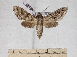 (Praedora marshalli - BC-EMEM0916)  @14 [ ] Copyright (2010) Ulf Eitschberger Research Collection of Ulf Eitschberger