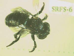 (Osmia claremontensis - SRFS-6)  @12 [ ] Unspecified (default): All Rights Reserved  Unspecified Unspecified
