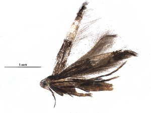 (Cosmopterix turbidella - BIOUG17328-C11)  @13 [ ] CreativeCommons - Attribution Non-Commercial Share-Alike (2015) CBG Photography Group Centre for Biodiversity Genomics