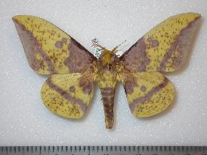(Eacles imperialis tucumana - BC-Dec0126)  @15 [ ] Copyright (2010) Thibaud Decaens Research Collection of Thibaud Decaens