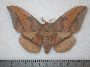 (Eacles imperialis oslari - BC-Dec0130)  @15 [ ] Copyright (2010) Thibaud Decaens Research Collection of Thibaud Decaens