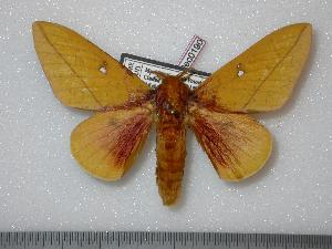 (Syssphinx mexicana - BC-Dec0190)  @15 [ ] Copyright (2010) Thibaud Decaens Research Collection of Thibaud Decaens