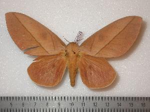 (Syssphinx parocellata - BC-Dec0323)  @15 [ ] Copyright (2010) Thibaud Decaens Research Collection of Thibaud Decaens