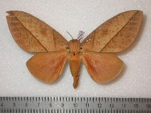 (Syssphinx lapazcellata - BC-Dec0324)  @14 [ ] Copyright (2010) Thibaud Decaens Research Collection of Thibaud Decaens