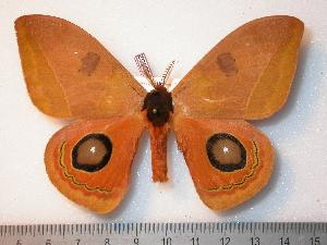 (Automeris pinasiana - BC-Dec0552)  @15 [ ] Copyright (2010) Thibaud Decaens Research Collection of Thibaud Decaens