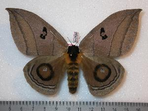 ( - BC-Dec0686)  @14 [ ] Copyright (2010) Thibaud Decaens Research Collection of Thibaud Decaens