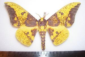 (Eacles imperialis hallwachsae - BC-Dec1106)  @15 [ ] Copyright (2010) Thibaud Decaens Research Collection of Thibaud Decaens