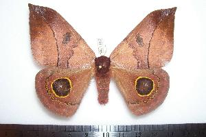 ( - BC-Dec1182)  @13 [ ] Copyright (2010) Thibaud Decaens Research Collection of Thibaud Decaens