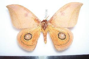 (Automeris bilinea tamphilus - BC-Dec1188)  @14 [ ] Copyright (2010) Thibaud Decaens Research Collection of Thibaud Decaens
