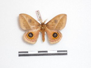 ( - BC-Dec1434)  @13 [ ] Copyright (2010) Thibaud Decaens Research Collection of Thibaud Decaens