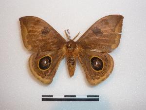 (Automeris rostralis - BC-Dec1524)  @14 [ ] Copyright (2010) Thibaud Decaens Research Collection of Thibaud Decaens