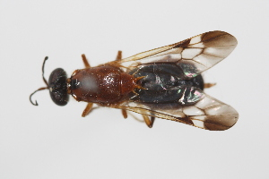 (Pachygastrinae - cau02044)  @15 [ ] Unspecified (default): All Rights Reserved (2010) China Agricultural University, Insect Collection China Agricultural University, Insect Collection