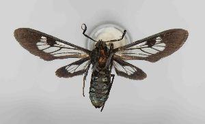 (Leucotmemis insperata - RMNH.INS.981119)  @11 [ ] CreativeCommons (2018) Hajo Gernaat Unspecified