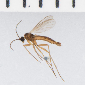 (Camptochaeta consimilis - SV1240)  @13 [ ] CreativeCommons - Attribution Share-Alike (2014) Natural History Museum, University of Oslo Natural History Museum, University of Oslo