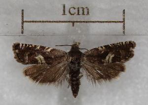 (Grapholita aureola - RMZ6533_4)  @11 [ ] CreativeCommons - Attribution Non-Commercial Share-Alike (2015) Helgeland Museum Helgeland Museum