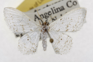 (Idaea tacturata - TAMUICEGR-0735)  @14 [ ] CreativeCommons - Attribution Non-Commercial Share-Alike (2010) CBG Photography Group Centre for Biodiversity Genomics