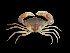 (Galenidae - TCCBP_Gabi1)  @11 [ ] No Rights Reserved (2015) Sahat Ratmuangkhwang Andaman Coastal Research Station for Development, Kasetsart University