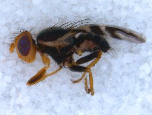 (Rhagoletis batava - DNA 20090808-13)  @14 [ ] Copyright (2010) B.T. Reijnen NCB Naturalis