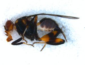 (Richardia - DNA 20081030-46)  @15 [ ] Copyright (2010) B.T. Reijnen NCB Naturalis
