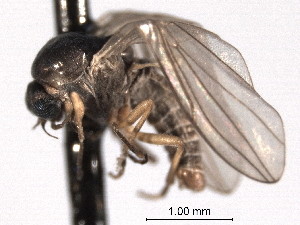 (Androprosopa idahoensis - CNC DIPTERA 192188)  @13 [ ] CreativeCommons - Attribution Non-Commercial Share-Alike (2012) CNC/BIO Photography Group Centre for Biodiversity Genomics