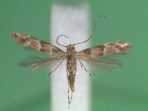 (Phyllonorycter trifasciella - STG55)  @13 [ ] Copyright (2012) Christian Wieser Landesmuseum Karnten