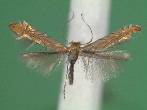 (Phyllonorycter messaniella - STG62)  @14 [ ] Copyright (2012) Christian Wieser Landesmuseum Karnten