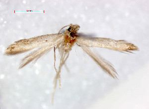 (Tischeria ptarmica - RMNH.INS.23733)  @13 [ ] Unspecified (default): All Rights Reserved  Unspecified Unspecified