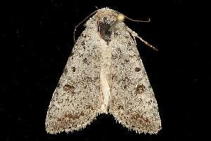 (Caradrina multifera - MNBTT-1152)  @13 [ ] CC-0 (2010) CBG Photography Group Centre for Biodiversity Genomics