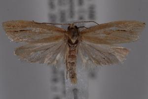 (Argyrotaenia coconinana - 09-JBTOR-0761)  @14 [ ] CreativeCommons - Attribution Non-Commercial Share-Alike (2010) CBG Photography Group Centre for Biodiversity Genomics