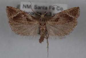 (Pelochrista corosana - 09-JBTOR-0589)  @13 [ ] CreativeCommons - Attribution Non-Commercial Share-Alike (2010) CBG Photography Group Centre for Biodiversity Genomics