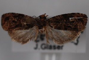 (Olethreutes zelleriana - 09-JBTOR-0804)  @13 [ ] CreativeCommons - Attribution Non-Commercial Share-Alike (2010) CBG Photography Group Centre for Biodiversity Genomics