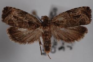 (Olethreutes zelleriana - 09-JBTOR-0805)  @13 [ ] CreativeCommons - Attribution Non-Commercial Share-Alike (2010) CBG Photography Group Centre for Biodiversity Genomics