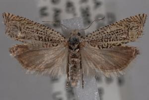 (Eucosma granulatana - 09-JBTOR-0626)  @14 [ ] CreativeCommons - Attribution Non-Commercial Share-Alike (2010) CBG Photography Group Centre for Biodiversity Genomics