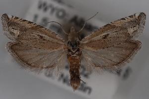 (Eucosma delphinoides - 09-JBTOR-0628)  @14 [ ] CreativeCommons - Attribution Non-Commercial Share-Alike (2010) CBG Photography Group Centre for Biodiversity Genomics