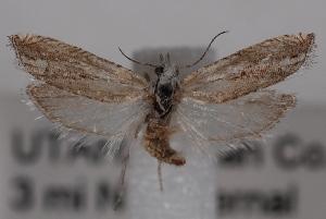(Eucosma parvula - 09-JBTOR-0646)  @14 [ ] CreativeCommons - Attribution Non-Commercial Share-Alike (2010) CBG Photography Group Centre for Biodiversity Genomics