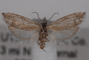 (Eucosma parvula - 09-JBTOR-0647)  @14 [ ] CreativeCommons - Attribution Non-Commercial Share-Alike (2010) CBG Photography Group Centre for Biodiversity Genomics