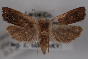 (Eucosma glomerana - 09-JBTOR-0555)  @14 [ ] CreativeCommons - Attribution Non-Commercial Share-Alike (2010) CBG Photography Group Centre for Biodiversity Genomics