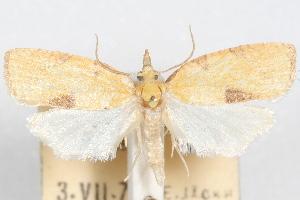 (Sparganothis albicaudana - 09-JBTOR-1066)  @11 [ ] CreativeCommons - Attribution Non-Commercial Share-Alike (2010) CBG Photography Group Centre for Biodiversity Genomics
