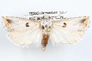 (Pelochrista graziella - 09-JBTOR-1196)  @13 [ ] CreativeCommons - Attribution Non-Commercial Share-Alike (2010) CBG Photography Group Centre for Biodiversity Genomics