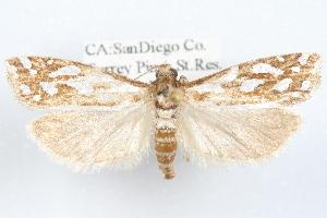 (Pelochrista sandiego - 09-JBTOR-1230)  @14 [ ] CreativeCommons - Attribution Non-Commercial Share-Alike (2010) CBG Photography Group Centre for Biodiversity Genomics