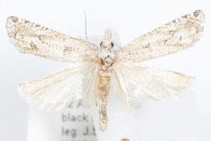 (Pelochrista totana - 09-JBTOR-1239)  @14 [ ] CreativeCommons - Attribution Non-Commercial Share-Alike (2010) CBG Photography Group Centre for Biodiversity Genomics