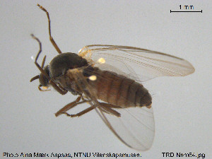 (Metacnephia bilineata - TRD-Nem64)  @13 [ ] CreativeCommons - Attribution Non-Commercial Share-Alike (2015) NTNU University Museum, Department of Natural History NTNU University Museum, Department of Natural History