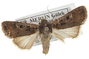 (Euxoa nigrofusca - BIOUG07540-A08)  @14 [ ] CreativeCommons - Attribution Non-Commercial Share-Alike (2012) CBG Photography Group Centre for Biodiversity Genomics