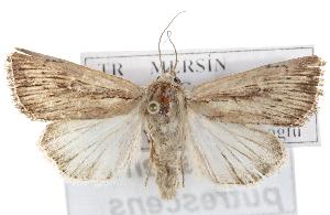 (Leucania putrescens - BIOUG07540-E03)  @15 [ ] CreativeCommons - Attribution Non-Commercial Share-Alike (2012) CBG Photography Group Centre for Biodiversity Genomics