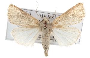 (Leucania punctosa - BIOUG07540-E04)  @15 [ ] CreativeCommons - Attribution Non-Commercial Share-Alike (2012) CBG Photography Group Centre for Biodiversity Genomics