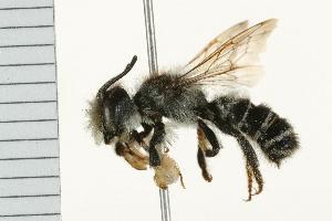 (Megachile pugnata - 08BBHYM-0360)  @14 [ ] CC-0 (2009) CBG Photography Group Centre for Biodiversity Genomics