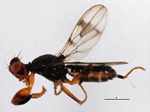 (Sphyracephalinae - 08TTML-2292)  @14 [ ] CC-0 (2010) CBG Photography Group Centre for Biodiversity Genomics