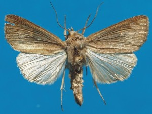 (Mythimna obsoleta - FG161)  @11 [ ] Unspecified (default): All Rights Reserved  Unspecified Unspecified