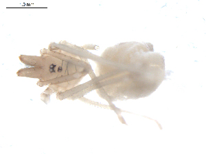 (Leptonetidae - BIOUG00198-E02)  @12 [ ] Copyright  G. Blagoev 2010 Unspecified